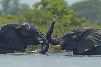 Two African Elephants Playing in the Water by Beverly Joubert