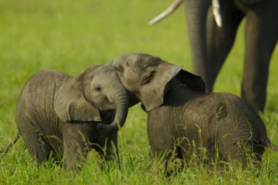 Two Elephant Calves Playing Between the Herd, Botswana by Beverly Joubert
