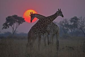 Two Giraffes Grazing with the Sun Setting in the Distance by Beverly Joubert