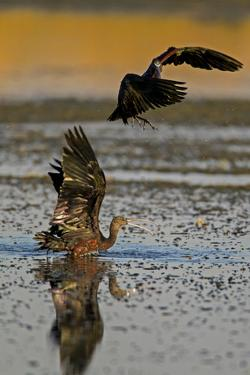 Two Glossy Ibis, Plegadis Falcinellus, Fighting to Determine Who Is the Alpha Male by Beverly Joubert