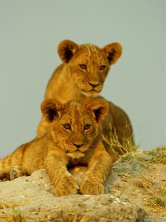 Two Lion Cubs Watch the Action from the Sidelines by Beverly Joubert