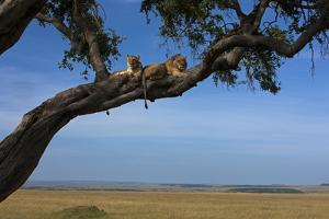 Two Lions Lying Next to Each Other in a Tree by Beverly Joubert