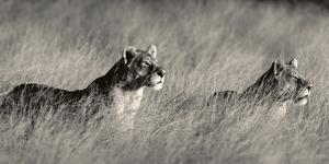Two lions stand in tall grass, The twins on Guard. by Beverly Joubert