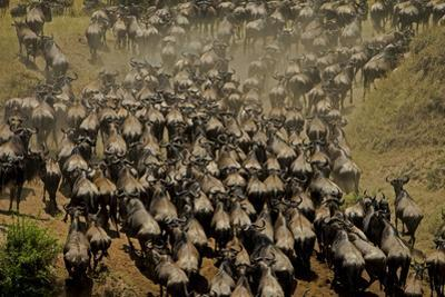 Wildebeest Charge to Get Up a Steep River Bank