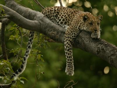 Young Leopard, Panthera Pardus, Rests on a Tree Limb, Mombo, Okavango Delta, Botswana