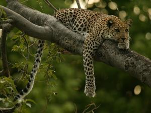 Young Leopard, Panthera Pardus, Rests on a Tree Limb, Mombo, Okavango Delta, Botswana by Beverly Joubert