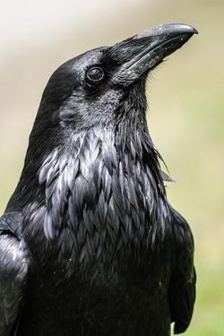 Common Raven, Jasper National Park Alberta Canada by BGSmith