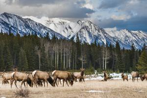 Wild Mountain Elk, Banff National Park Alberta Canada by BGSmith