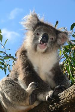 Koala Bear, Melbourne, Victoria, Australia, Pacific by Bhaskar Krishnamurthy