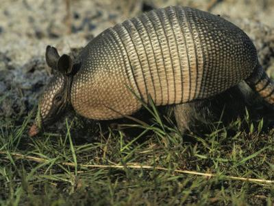 Nine-Banded Armadillo, Melbourne, Florida by Bianca Lavies