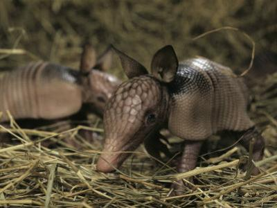 Pair of Juvenile Nine-Banded Armadillos, Melbourne, Florida by Bianca Lavies