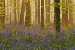 Bluebells Flowering in Wood, Dawn Light, in Beech Wood, Hallerbos, Belgium by Biancarelli