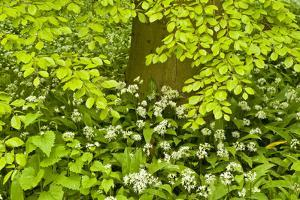 European Beech Tree (Fagus Sylvatica) and Undergrowth Including Wild Garlic, Hallerbos, Belgium by Biancarelli