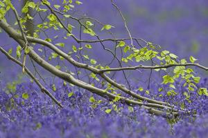 European Beech Tree (Fagus Sylvatica) Branch Above a Bluebell Carpet, Hallerbos, Belgium by Biancarelli