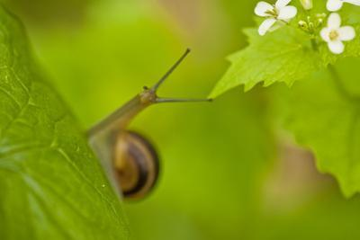 Snail on Garlic Mustard (Alliaria Petiolata) Leaves, Hallerbos, Belgium, April