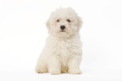 Bichon Frise Puppy Sitting in Studio