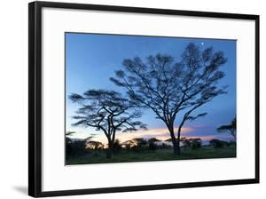 Big Acacias in Kilimatiti Area