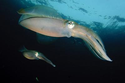 Bigfin Reef Squid Tending Eggs Along a Buoy Line, Lembeh Strait, Indonesia