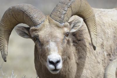https://imgc.allpostersimages.com/img/posters/bighorn-ram-bighorn-sheep-yellowstone-national-park-wyoming-usa_u-L-PN735T0.jpg?p=0