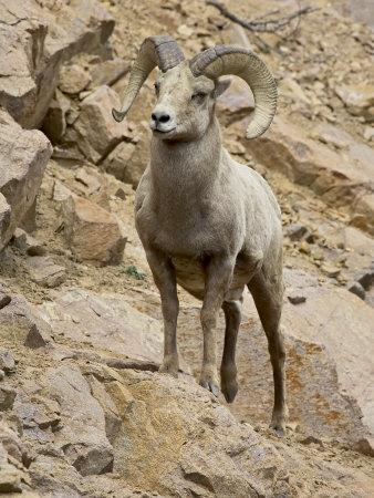 https://imgc.allpostersimages.com/img/posters/bighorn-sheep-ram-on-rocky-slope-colorado-usa_u-L-P7NOF40.jpg?artPerspective=n