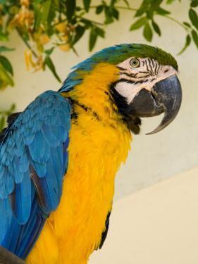 Colorful Macaw Bird, Chichicastenango, Guatemala by Bill Bachmann