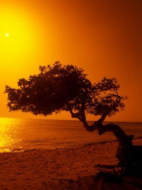 Lone Divi Divi Tree at Sunset, Aruba by Bill Bachmann