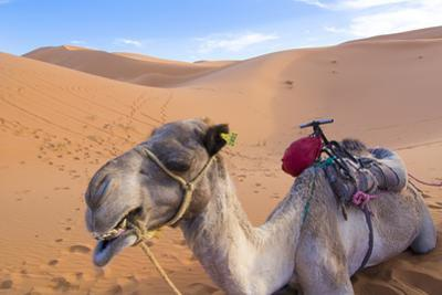 Morocco, Sahara Desert Sand Dunes Close Up of Camel for Rides by Bill Bachmann