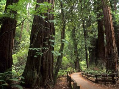 Old Redwood Trees, Muir Woods, San Francisco, California, USA