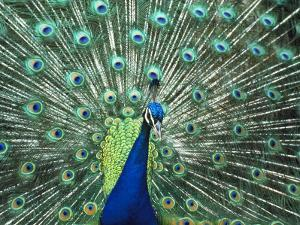 Peacock Spreading Colorful Feathers by Bill Bachmann