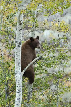 American Black Bear (Ursus americanus) cinnamon form, adult, Grand Teton by Bill Coster