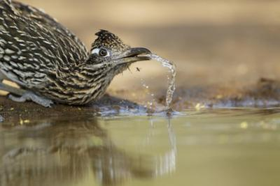 Greater Roadrunner (Geococcyx californianus) adult, drinking from pool, South Texas, USA