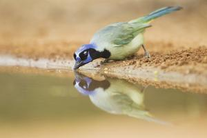 Green Jay (Cyanocorax yncas) adult, drinking at desert pool, South Texas, USA by Bill Coster