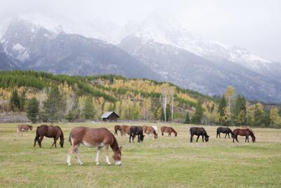 Mules (male donkey x female horse) and Horses, herd, with mountains in background