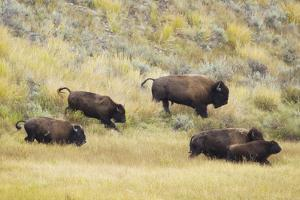 North American Bison (Bison bison) adult male, female, running in river valley floor by Bill Coster