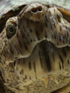 A Close View of the Face of a Loggerhead Musk Turtle by Bill Curtsinger