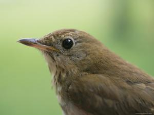 A Close View of the Head and Shoulders of a Wren by Bill Curtsinger