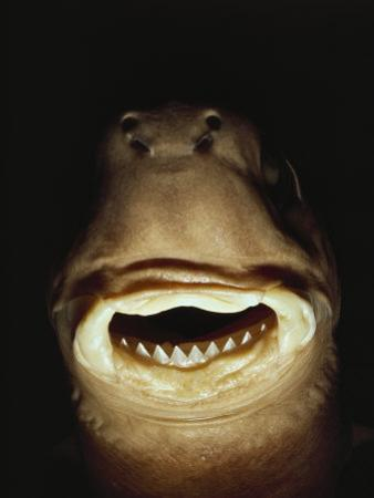 A Close View of the Mouth of a Specimen Cookie Cutter Shark by Bill Curtsinger