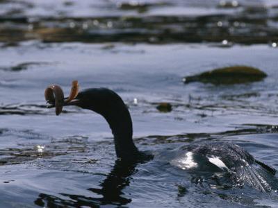 A Cormorant Eats an Eel in a Kelp Bed by Bill Curtsinger