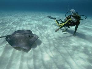 A Diver Swims Close to a Southern Stingray by Bill Curtsinger