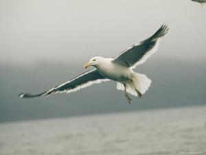 A Dominican Gull, Larus Dominicanus, in Flight on an Overcast Day by Bill Curtsinger