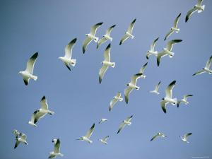 A Flock of Gulls in Flight by Bill Curtsinger