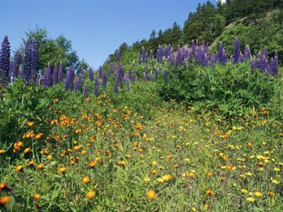 A Hillside Blanketed in Colorful Blooming Wildflowers by Bill Curtsinger