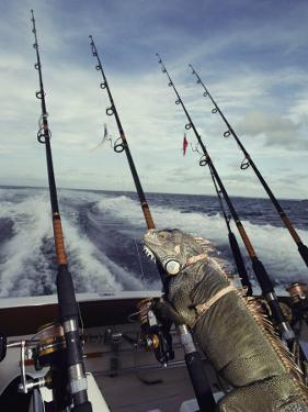 A Pet Iguana Appears to Be Fishing from the Back of a Moving Boat by Bill Curtsinger