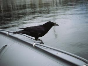 A Raven Perched on the Side of an Inflatable Boat by Bill Curtsinger