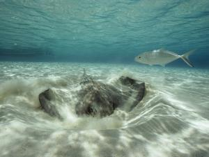 A Southern Sting Ray Burrowing into Sand as a Fish Swims Nearby by Bill Curtsinger