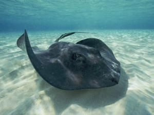 A Southern Stingray Swims Close to the Ocean Floor by Bill Curtsinger