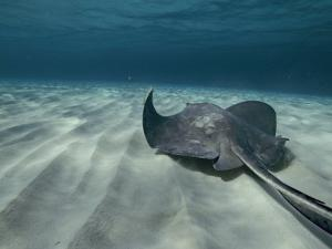 A Southern Stingray Swims Near the Ocean Bed by Bill Curtsinger