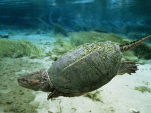 An Algae Dappled Snapping Turtle Swimming in a Clear Spring by Bill Curtsinger