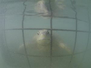An Endangered Green Sea Turtle Peers Through a Cage by Bill Curtsinger