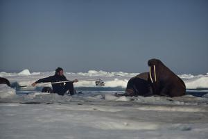 Chukchi Sea, Arctic Ocean. A researcher stretches to attach a tracking device to a walrus. by Bill Curtsinger